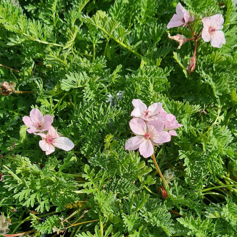Erodium absinthoides armenum