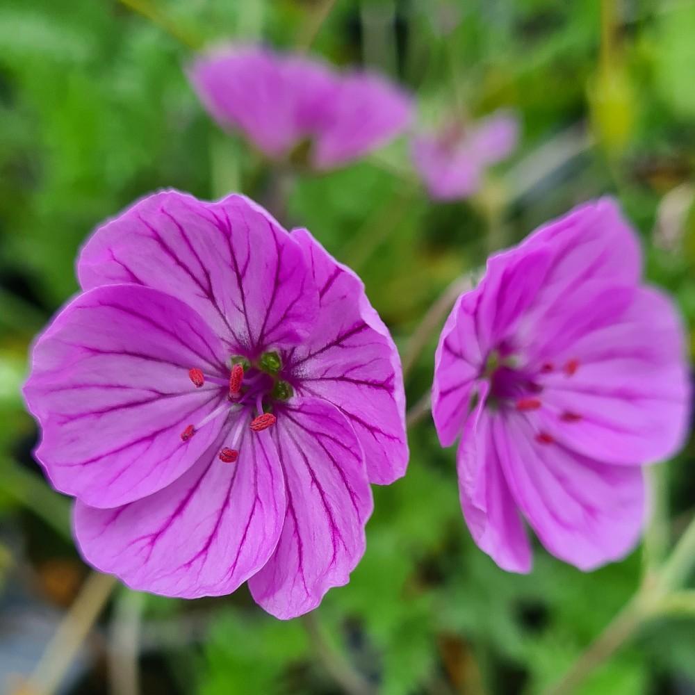 Erodium 'Marlya'