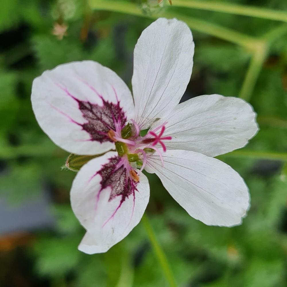 Erodium macradeum