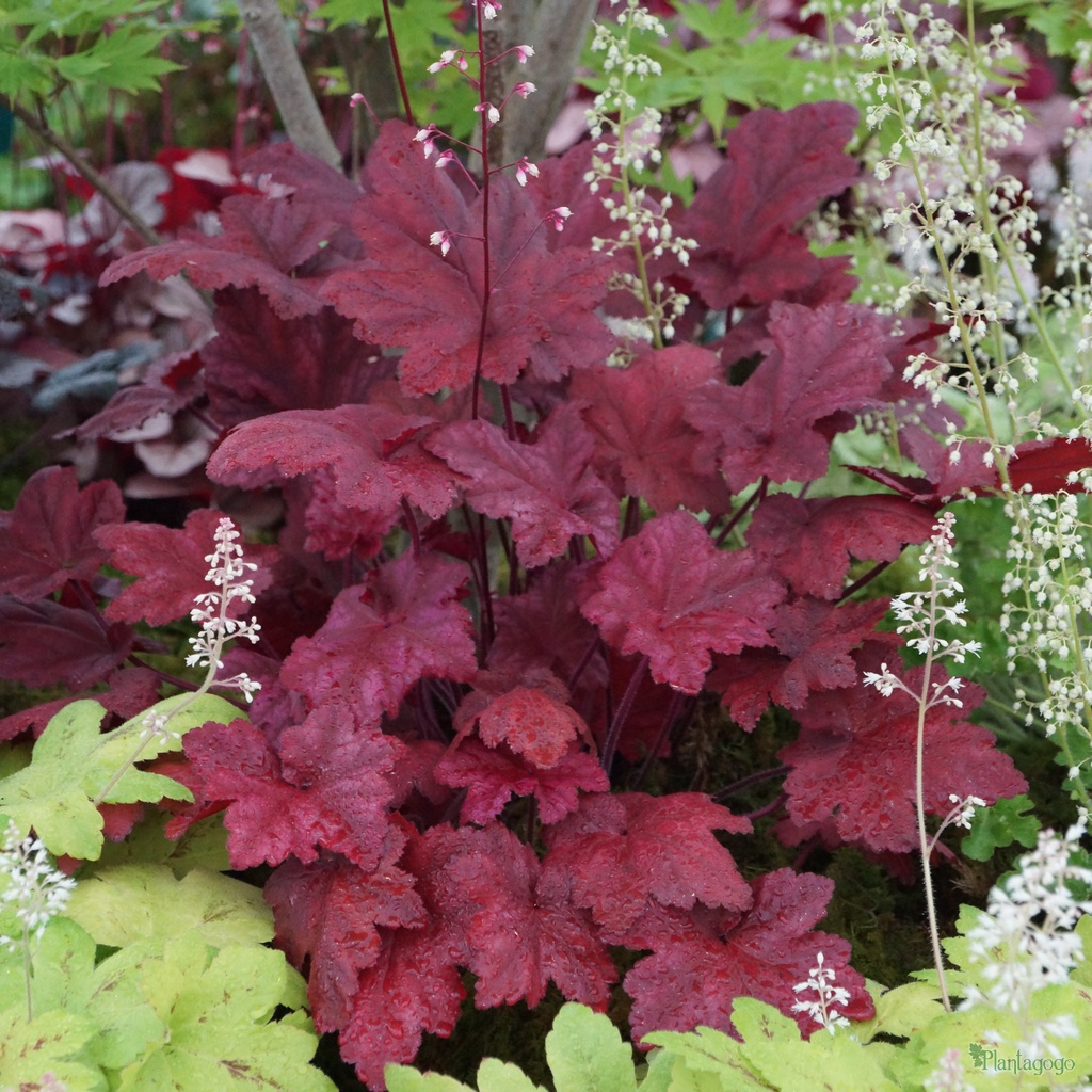 heuchera 39 autumn leaves 39 from the chelsea gold medal winning nursery plantagogo. Black Bedroom Furniture Sets. Home Design Ideas