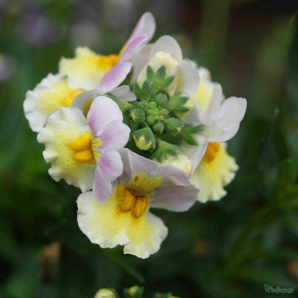 Nemesia 'Lavender Sherbet' Sundae