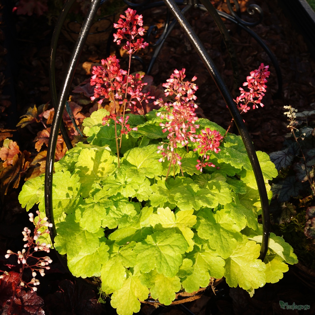 Heuchera 'Sweet Tart'