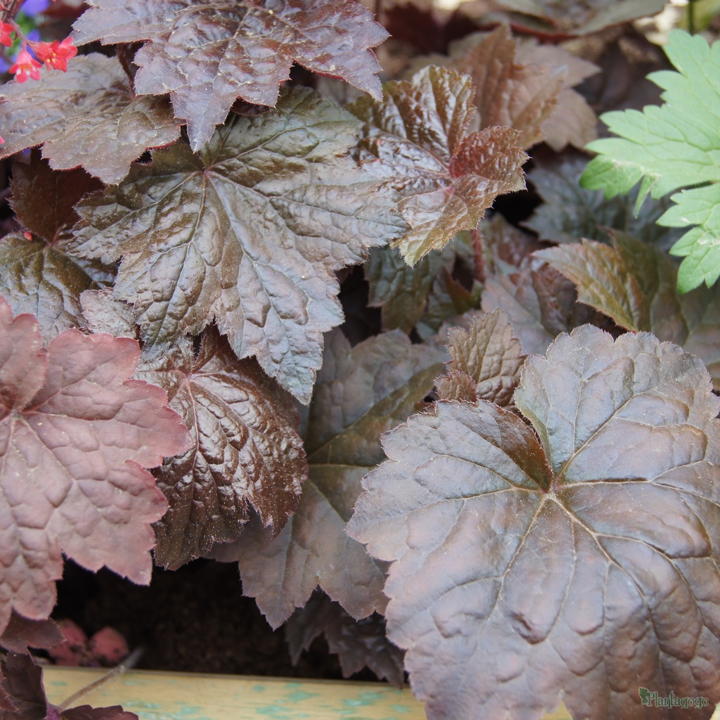 heuchera 39 palace purple 39 from the chelsea gold medal. Black Bedroom Furniture Sets. Home Design Ideas