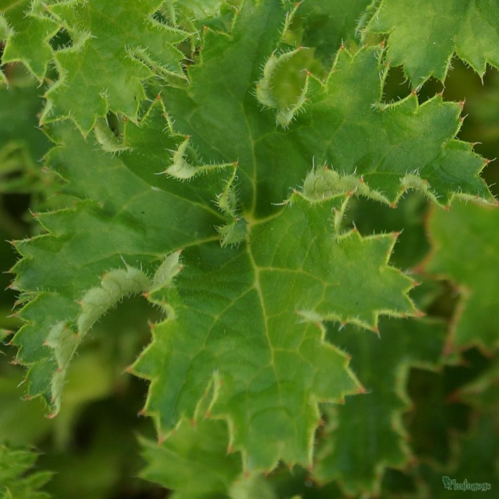 Heuchera 'Green Sashay'