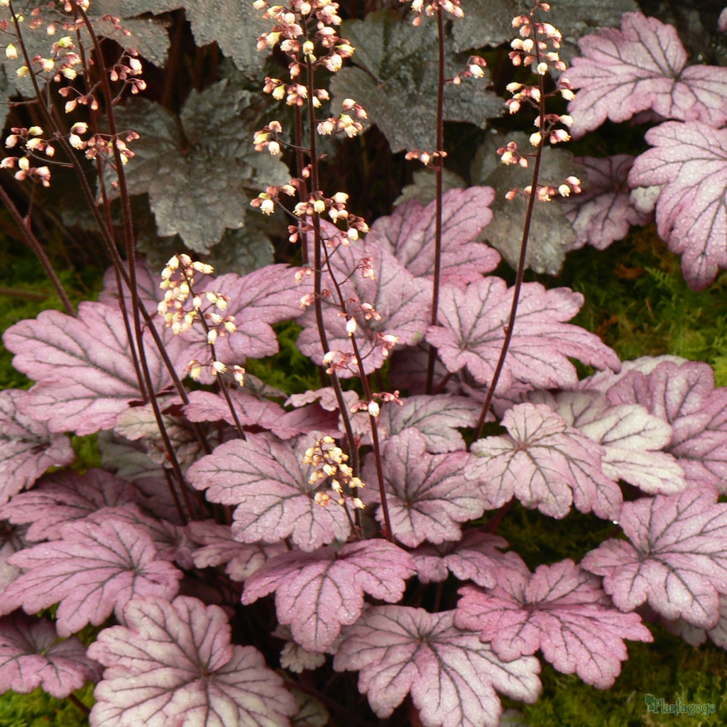 heuchera 39 sugar plum 39 from the chelsea gold medal winning nursery plantagogo. Black Bedroom Furniture Sets. Home Design Ideas