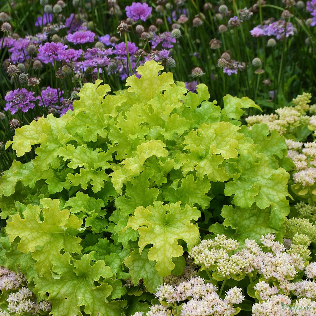 heuchera heucherella and tiarella x 6 mix all different suitable for shade from the chelsea. Black Bedroom Furniture Sets. Home Design Ideas