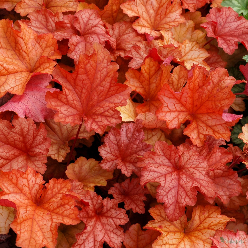 heuchera 39 paprika 39 from the chelsea gold medal winning nursery plantagogo. Black Bedroom Furniture Sets. Home Design Ideas