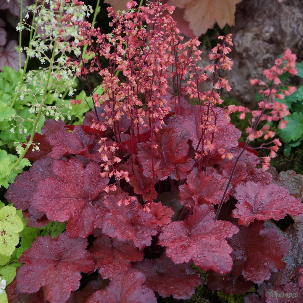 heuchera 39 cherry cola 39 from the chelsea gold medal winning. Black Bedroom Furniture Sets. Home Design Ideas