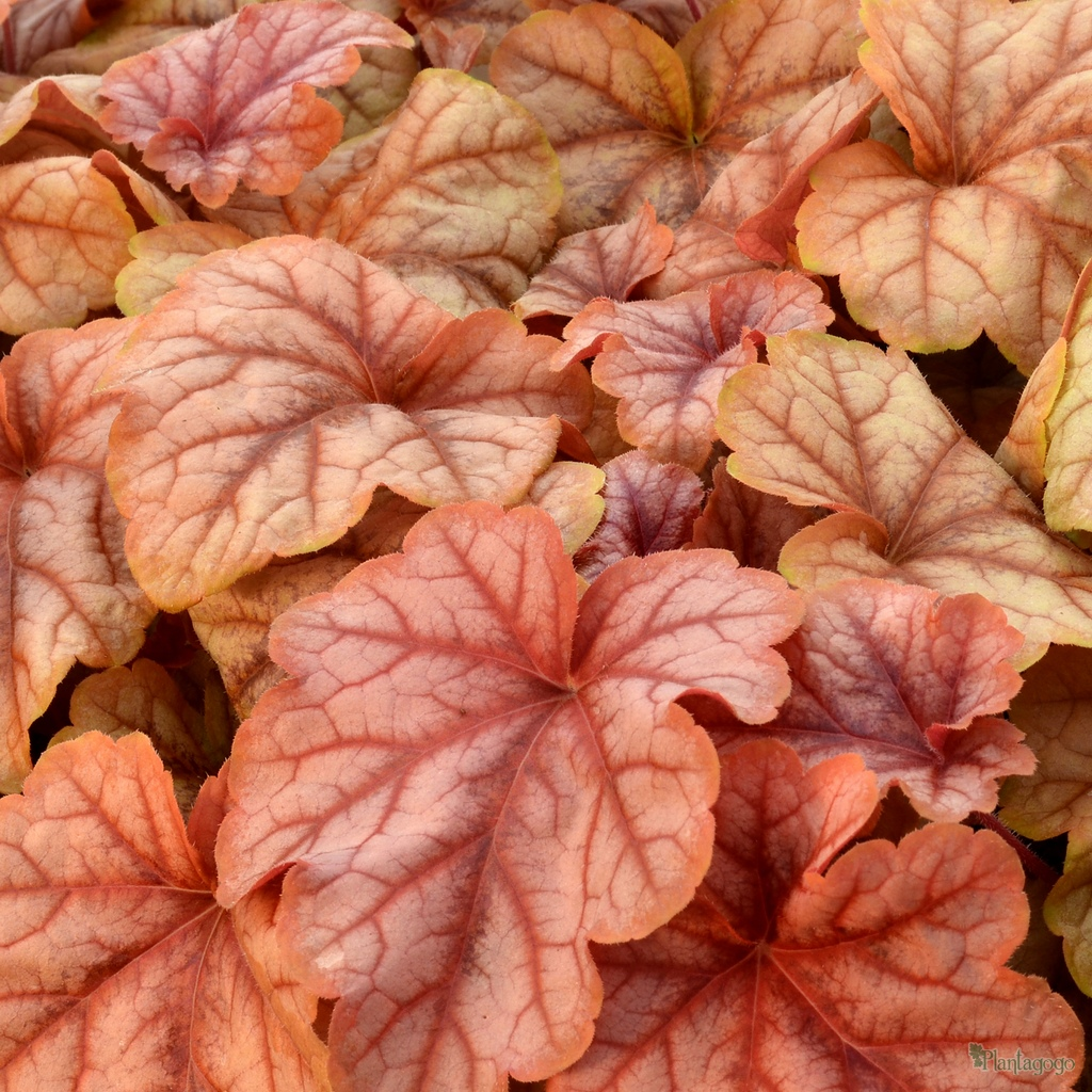 Heucherella Copper Cascade From The Chelsea Gold Medal Winning