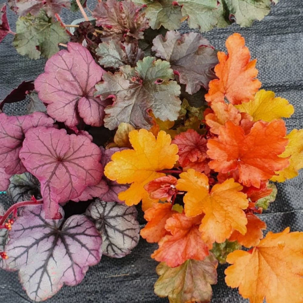 Heuchera Striking Trio