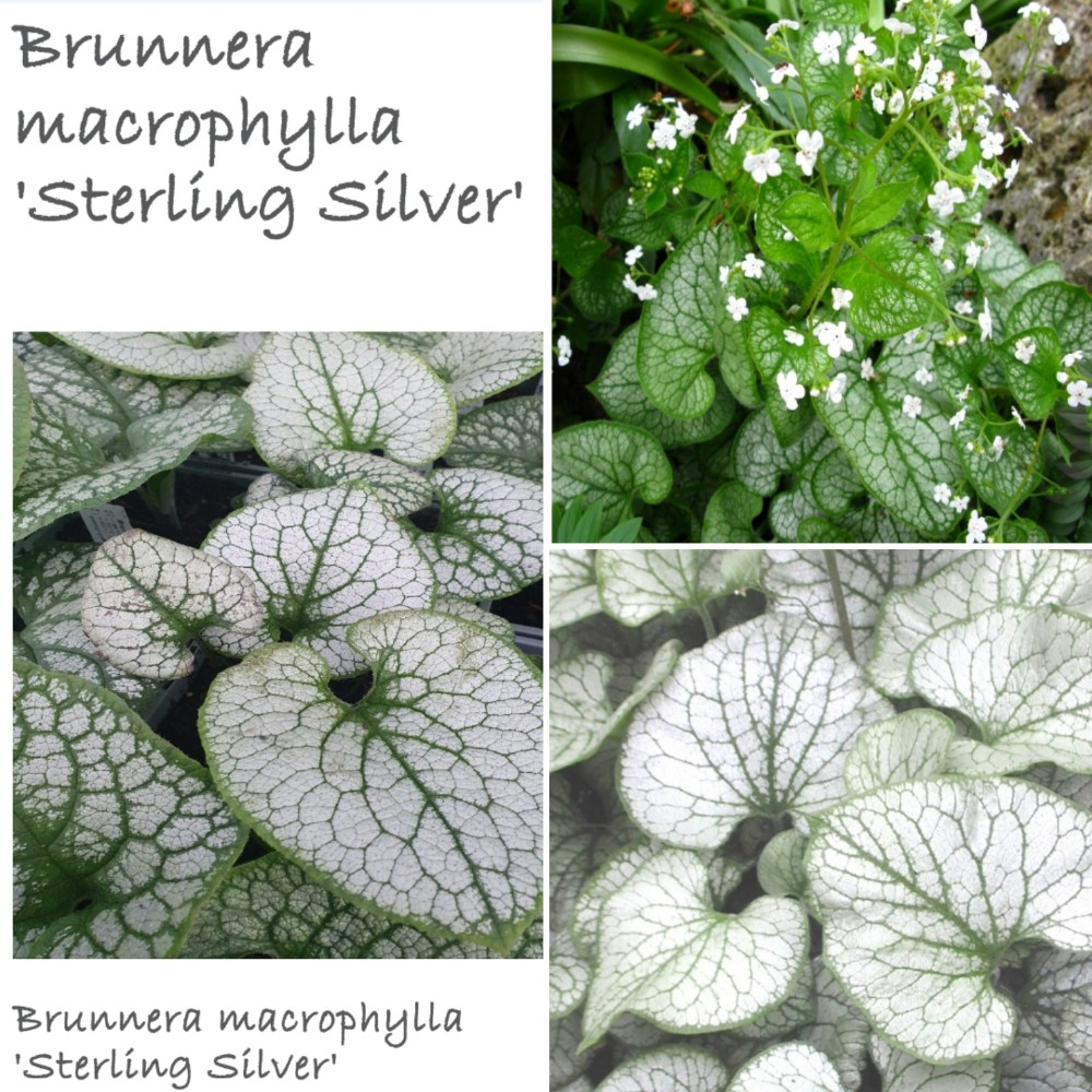 Brunnera Special Collection