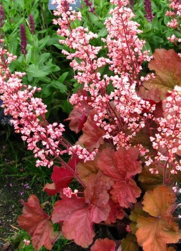 Heuchera Pink Pearls From The Chelsea Gold Medal Winning