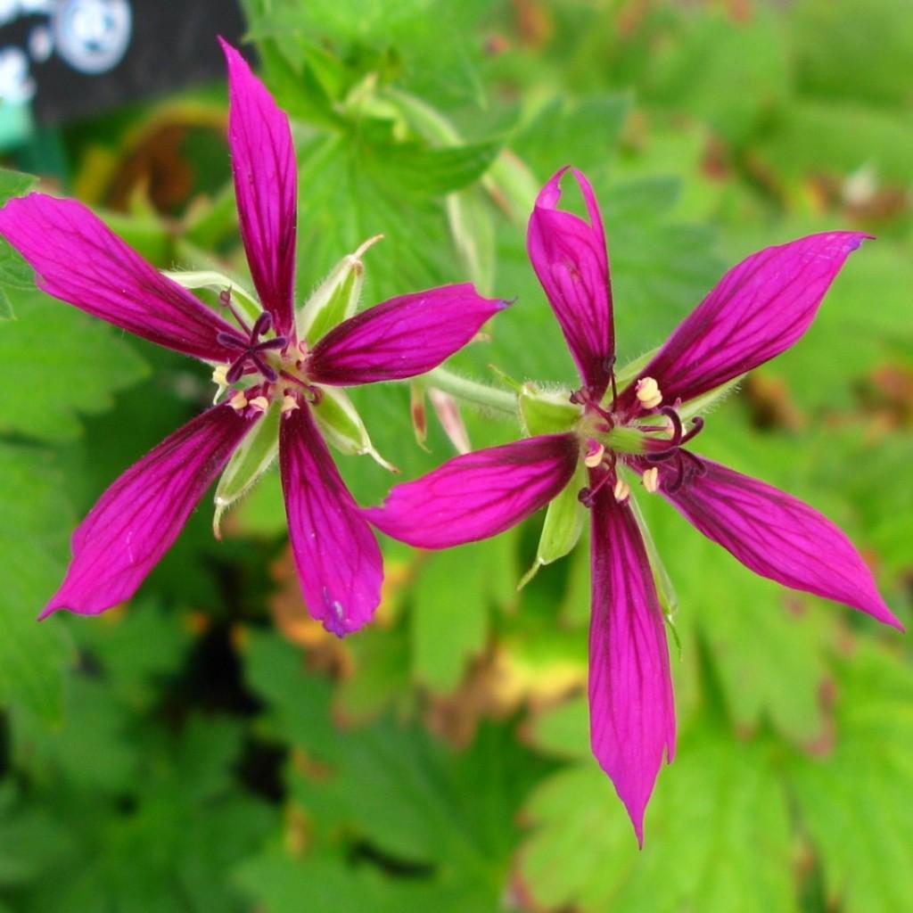 Geranium 'Catherine Deneuve'