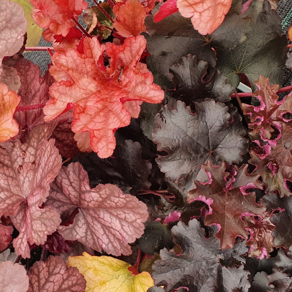 A Trio of Vibrant Heuchera for Sun or Part Shade no. 2