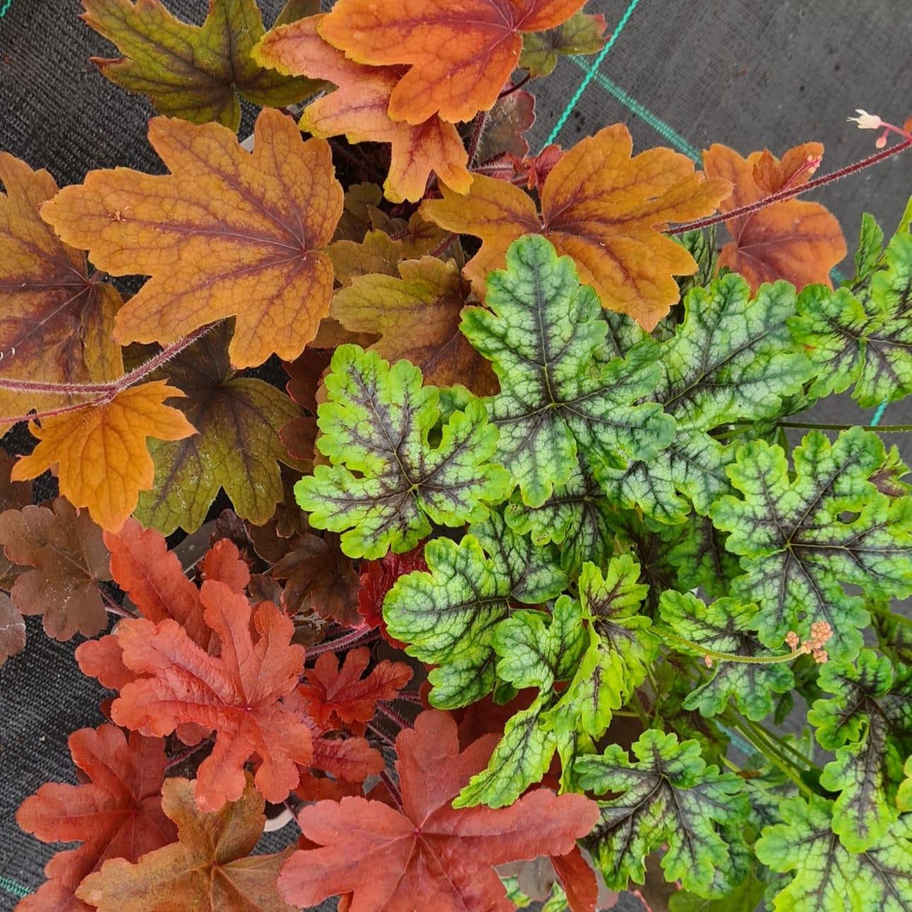 Heucherella Autumn Trio