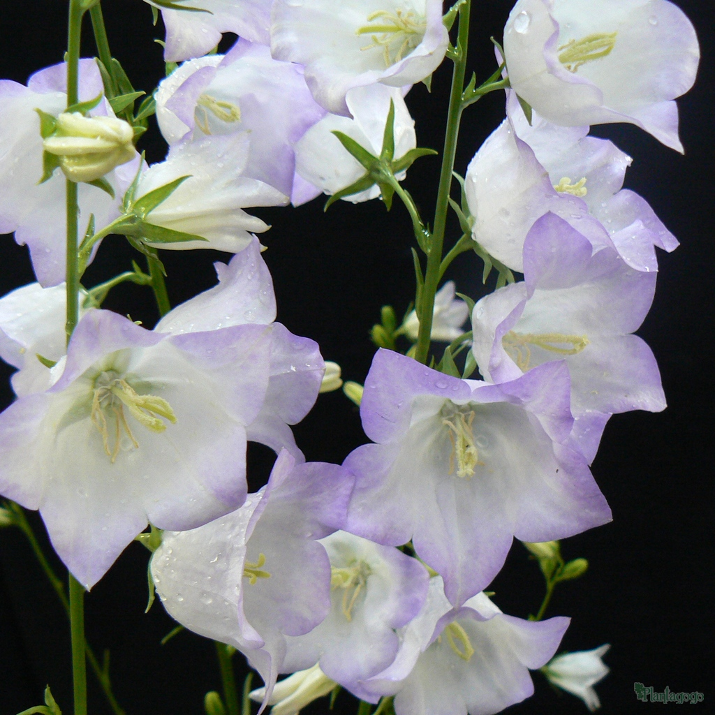 Campanula Persicifolia 'George Chiswell'