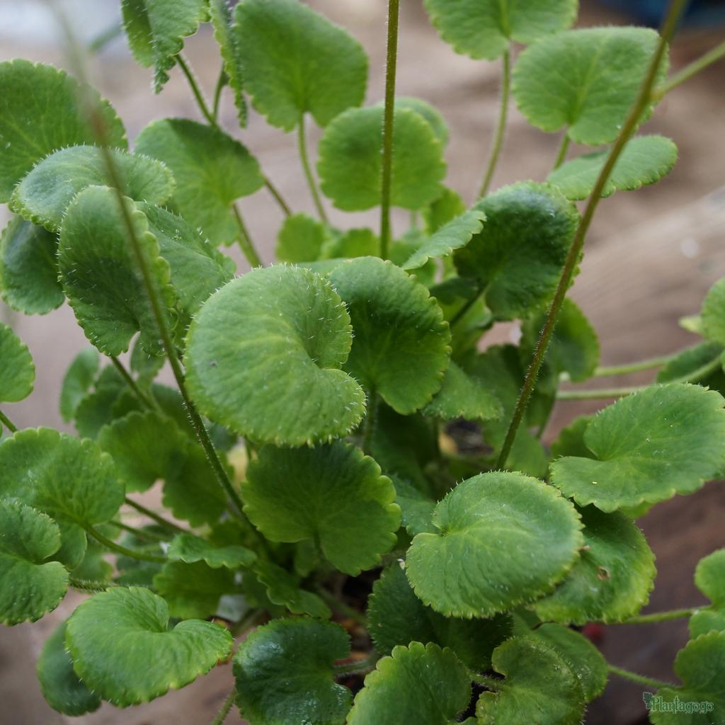 Saxifraga 'Rotundifolia'