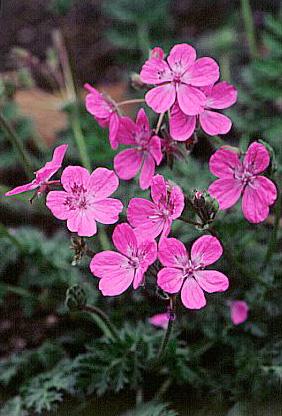 Erodium 'Manescavii'