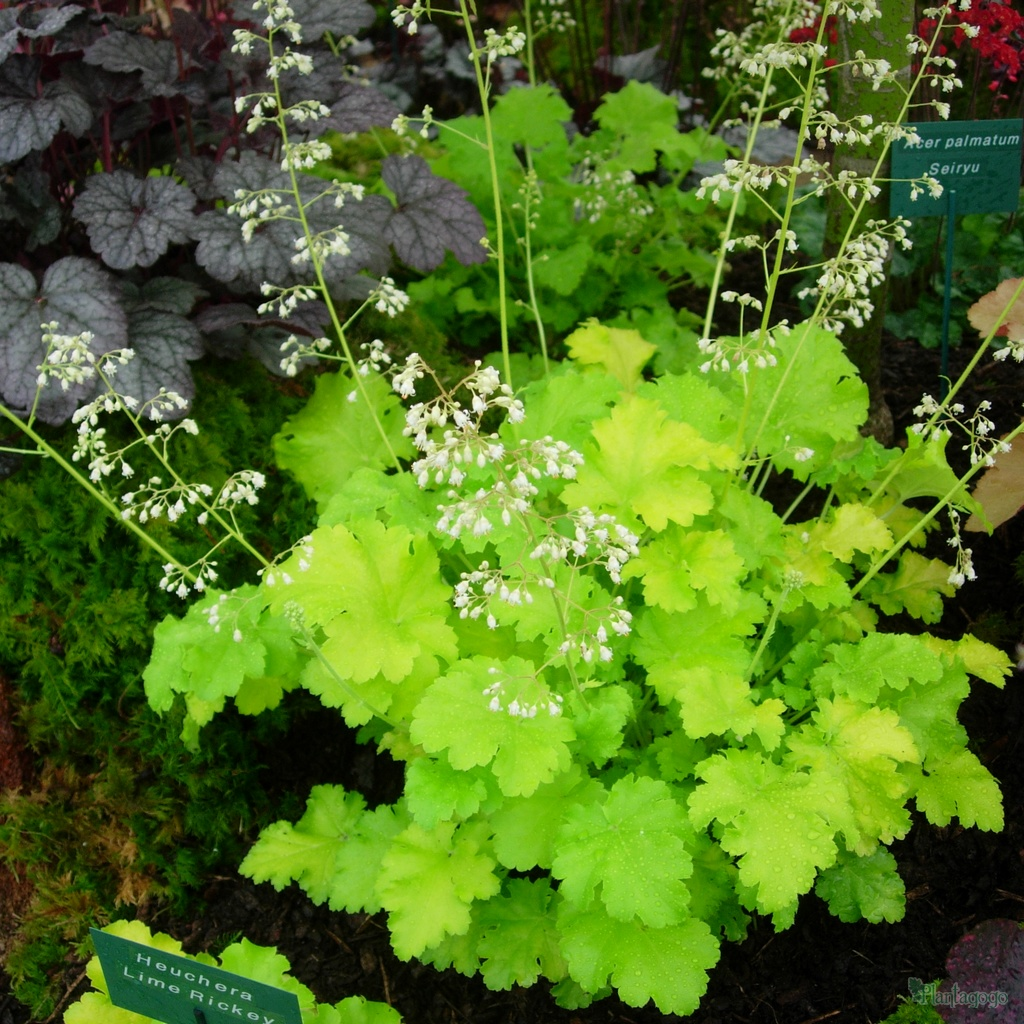 heuchera 39 lime rickey 39 from the chelsea gold medal winning nursery plantagogo. Black Bedroom Furniture Sets. Home Design Ideas