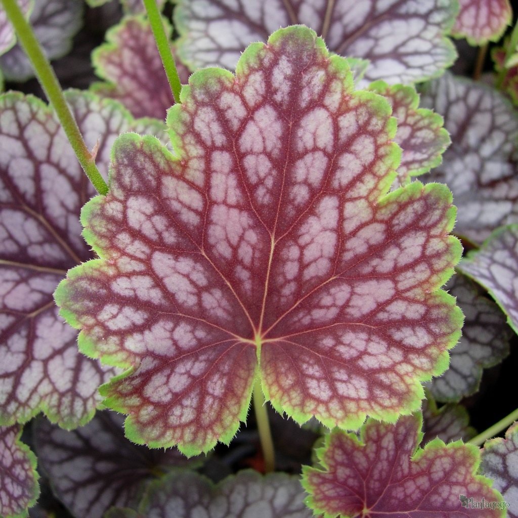 heuchera 39 beauty colour 39 from the chelsea gold medal. Black Bedroom Furniture Sets. Home Design Ideas