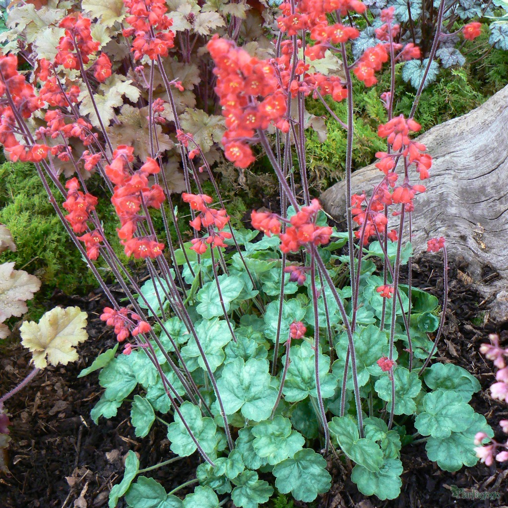 heuchera 39 blood red 39 from the chelsea gold medal winning nursery plantagogo. Black Bedroom Furniture Sets. Home Design Ideas
