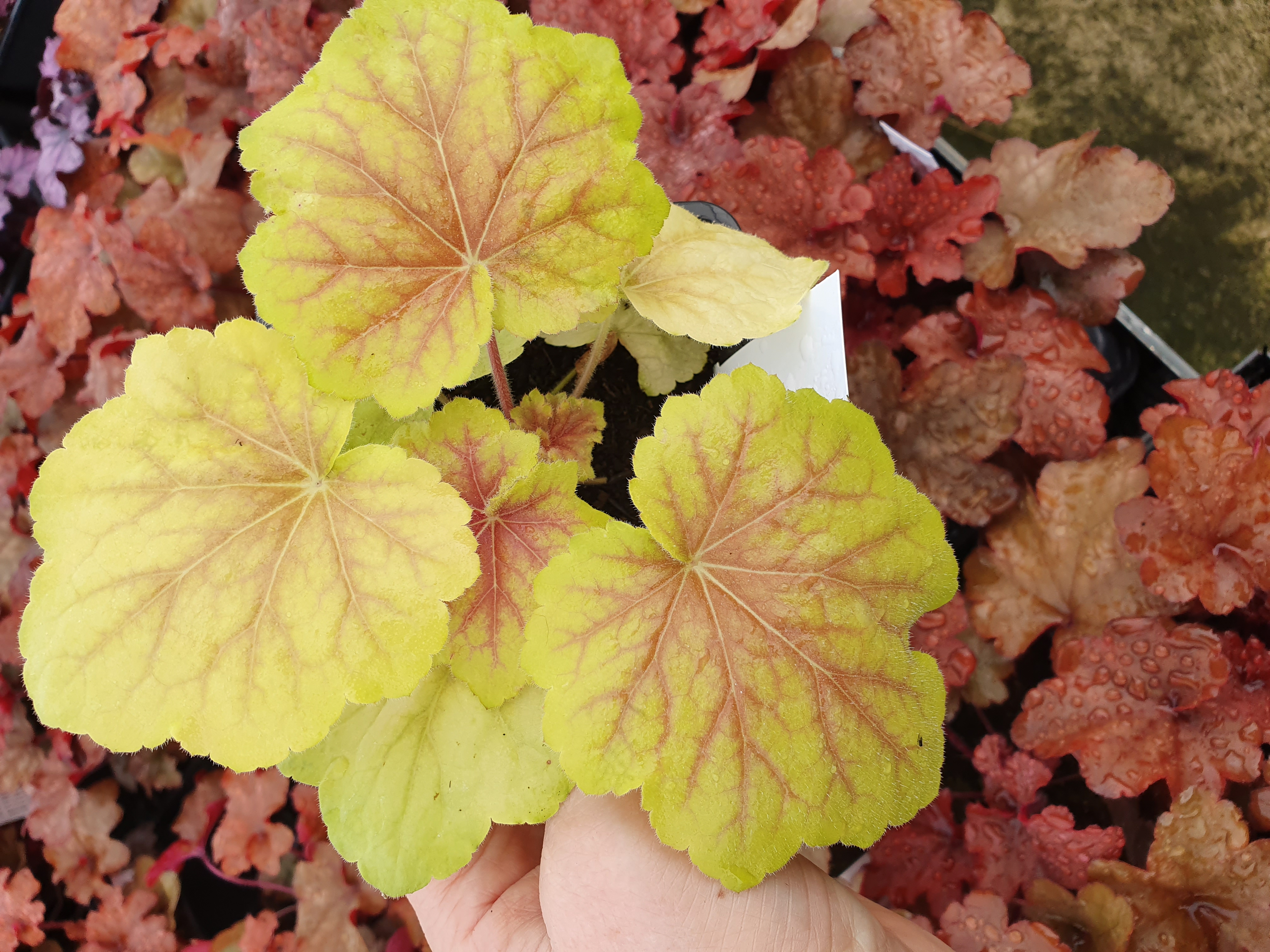 Heuchera 'High Hopes' PBR