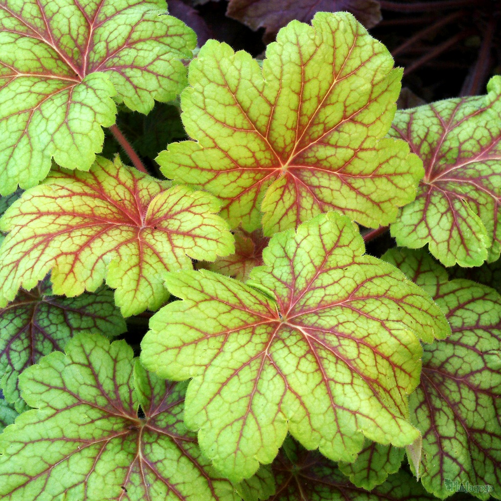 heuchera 39 electric lime 39 from the chelsea gold medal winning nursery plantagogo. Black Bedroom Furniture Sets. Home Design Ideas
