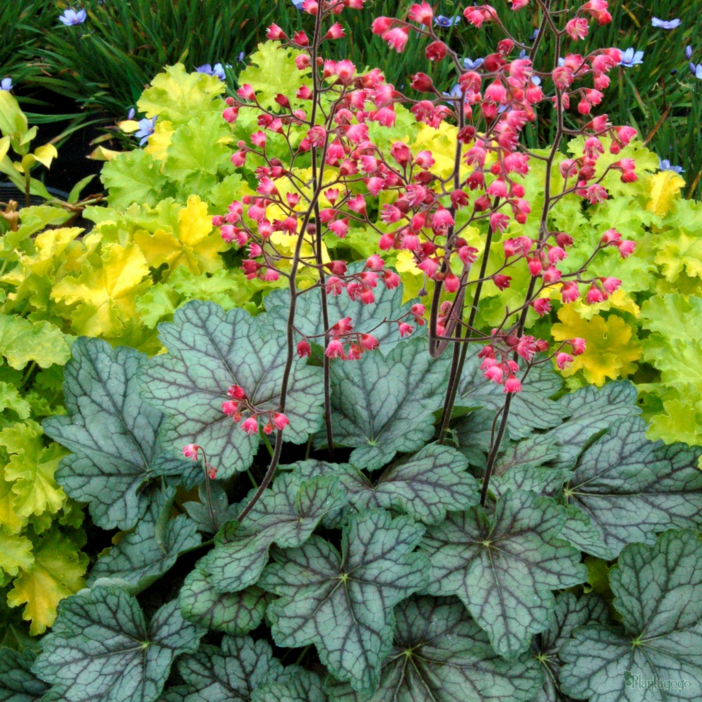 Heuchera Peppermint Spice From The Chelsea Gold Medal