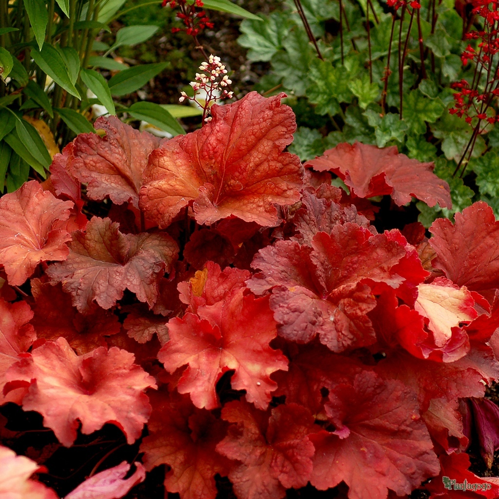 heuchera 39 rio 39 from the chelsea gold medal winning nursery plantagogo. Black Bedroom Furniture Sets. Home Design Ideas