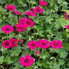 Geranium cinereum 'Jolly Jewel Raspberry'