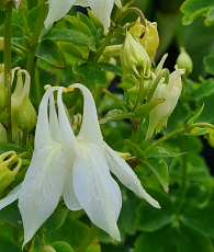 Aquilegia vulgaris 'Munstead White'
