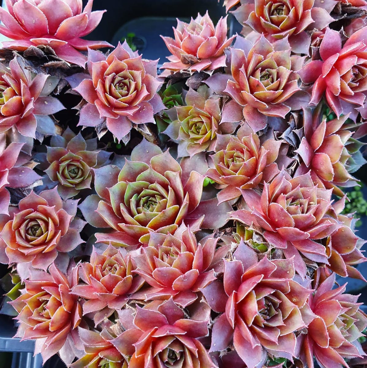 Sempervivum Elne