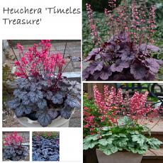 'Timeless' Heuchera Collection