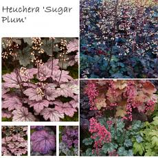 Heuchera 'Summer Treat Collection'