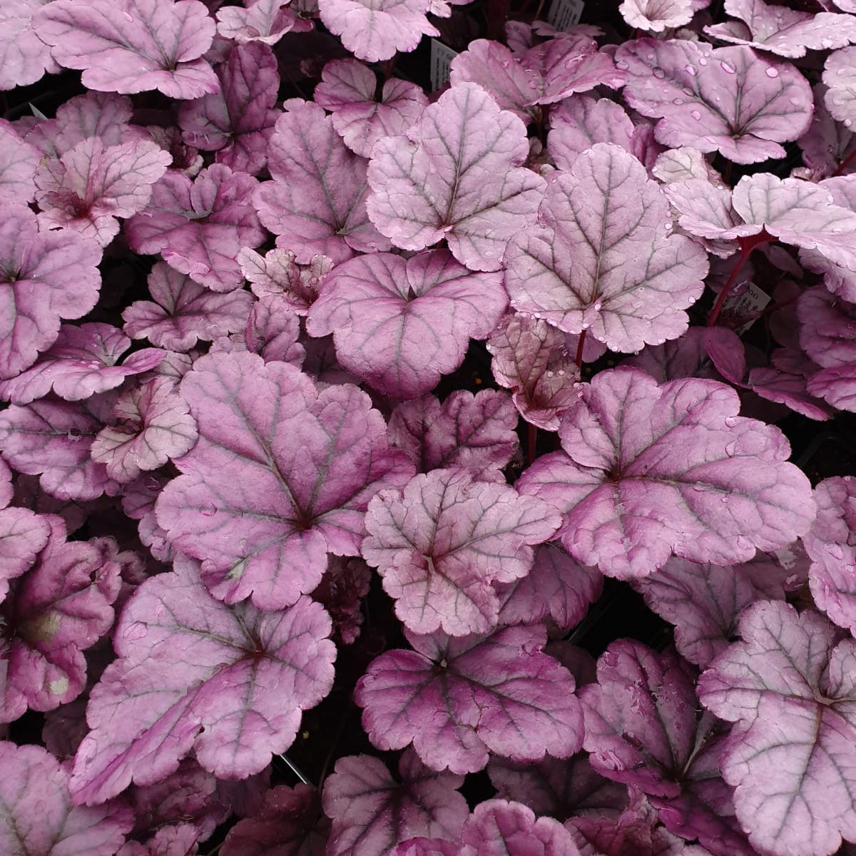 Heuchera 'Wild Berry'