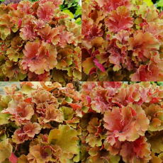 Heuchera 'Frilly'