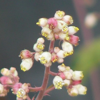 Heuchera brizoides 'Mother of Pearl'