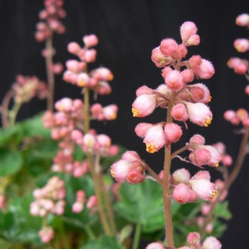 Heuchera brizoides 'Pretty Polly'
