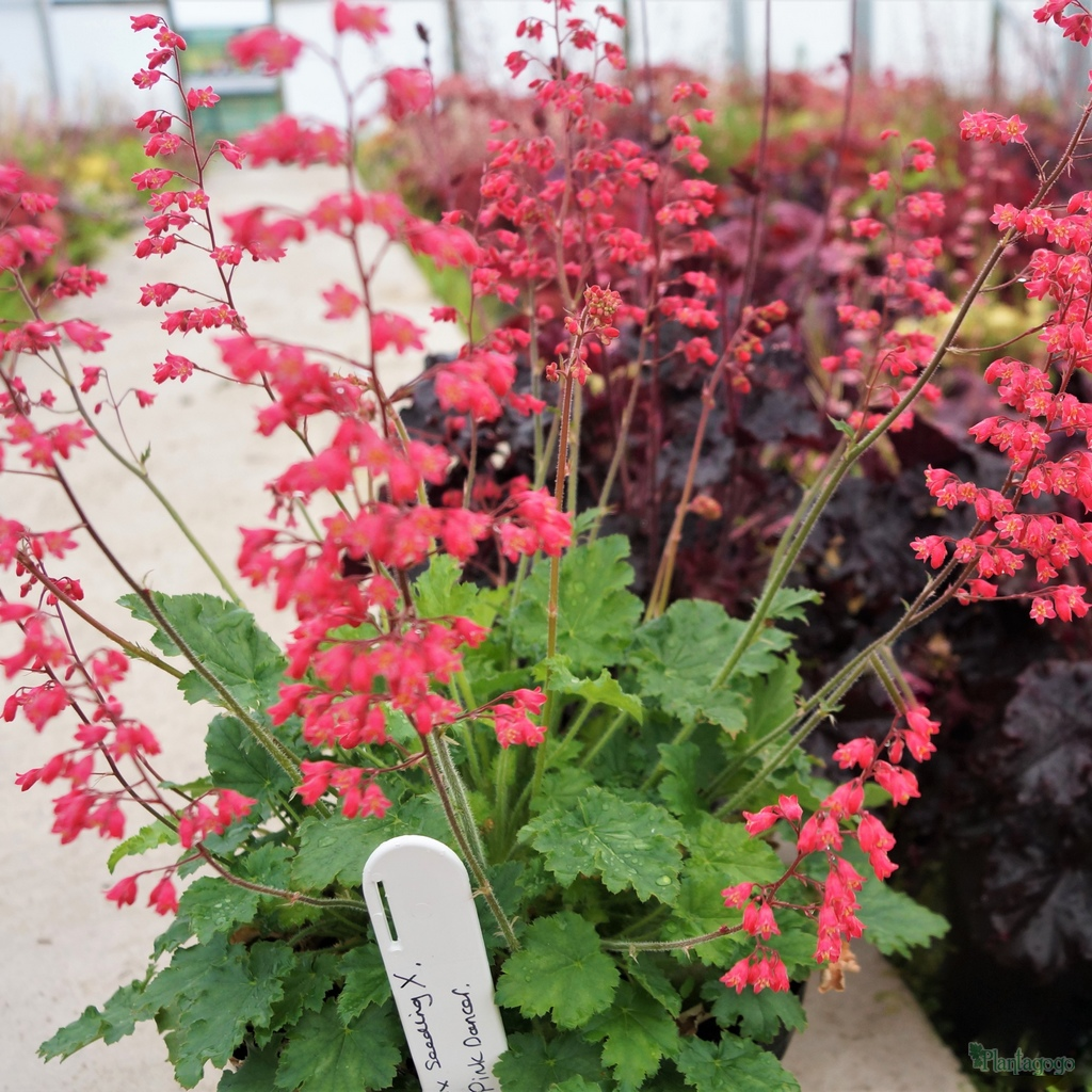 Heuchera 'Pink Dancer' TM (Fox Series)
