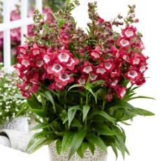 Penstemon Pentastic TM 'Red'