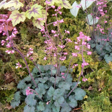 Heuchera 'Canyon Duet'