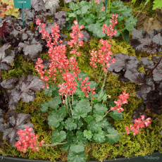 Heuchera 'Leuchtkafer'