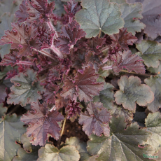 Heuchera 'Metallic Shimmer' (TM Fox Series)
