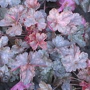 Heuchera 'Mini Mouse'