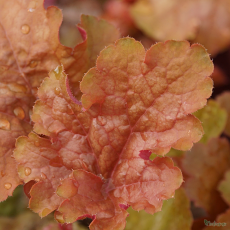 Heuchera 'Silver Heart'