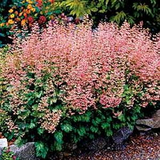 Heuchera 'Strawberry Swirl '