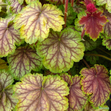 Heuchera 'Van Gough'