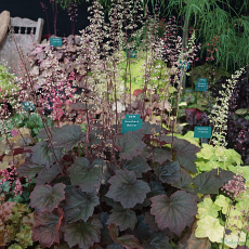 Heuchera 'Walnut' TM (FoxSeries)
