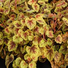 Heucherella 'Gold Cascade'