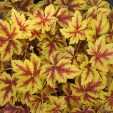 Heucherella 'Golden Zebra'
